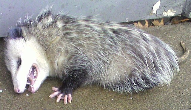A possum lies with its mouth open on the ground, appearing to be dead.