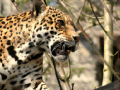 /IMG/273/274273/jaguar-animal-370x229