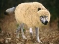 /IMG/384/253384/wolf-in-sheeps-clothing-370x229