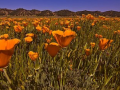 /IMG/412/245412/california-poppy-370x229